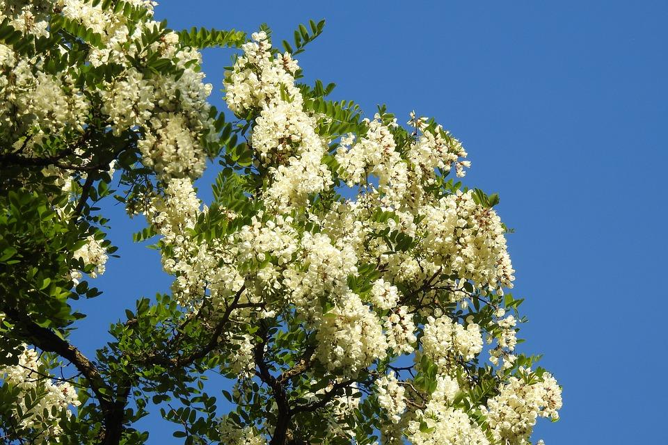 цветет дерево белой акации