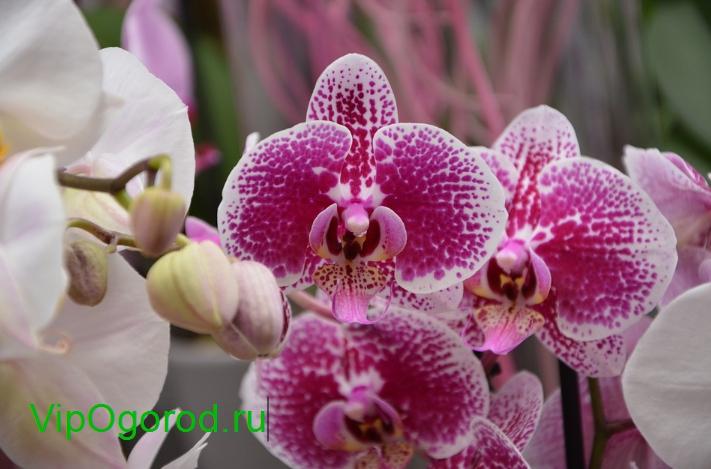 купить разные орхидеи