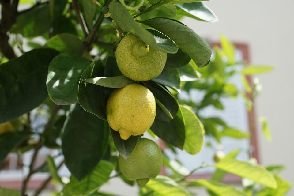 дерево лимона дома