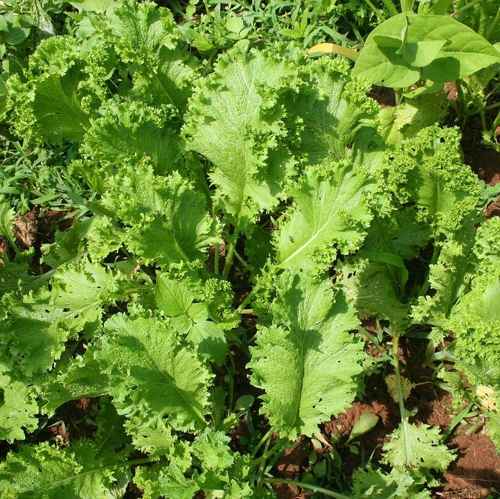 выращивание горчицы листовой