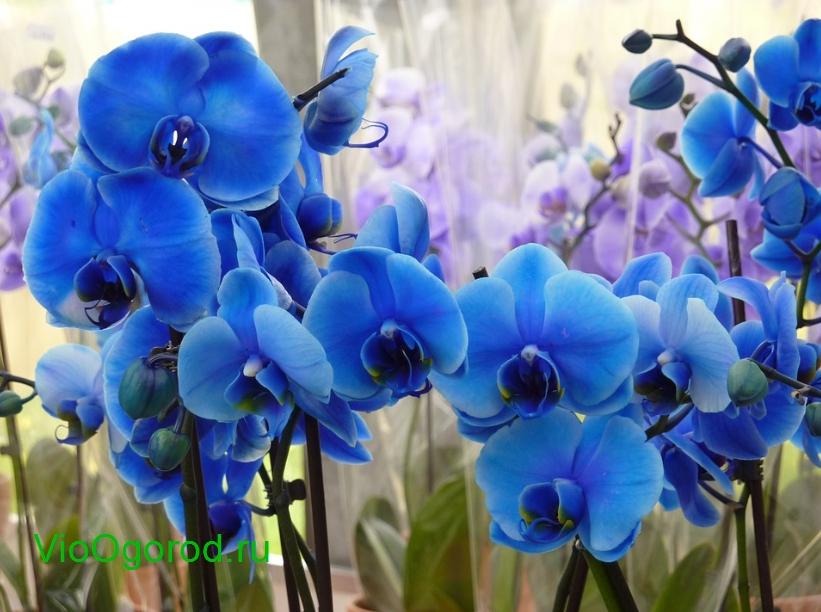 синяя орхидея купить