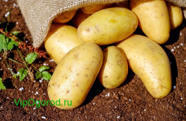Правильный Сбор урожая картофеля
