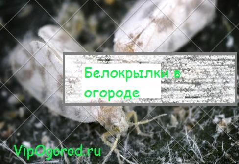 Гигантские белокрылки