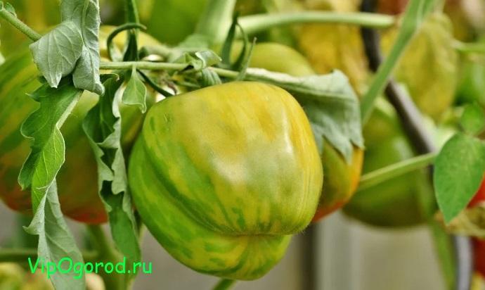 Как предотвратить растрескивание плодов томатов