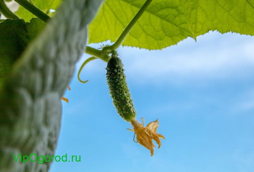 Оптимальные сорта огурцов для Московской области — срок посадки в 2020-2021 году