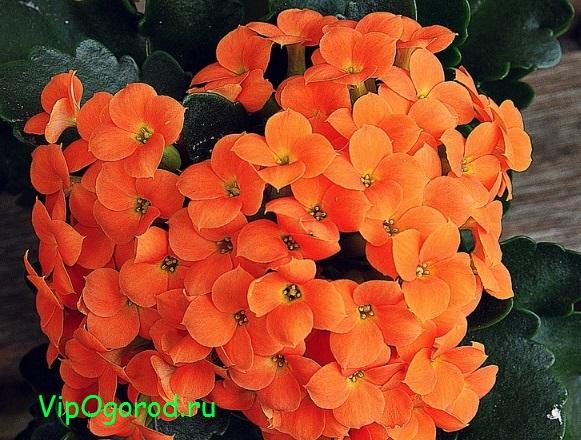 Каланхоэ популярный горшечный цветок - как выращивать каланхоэ в домашних условиях