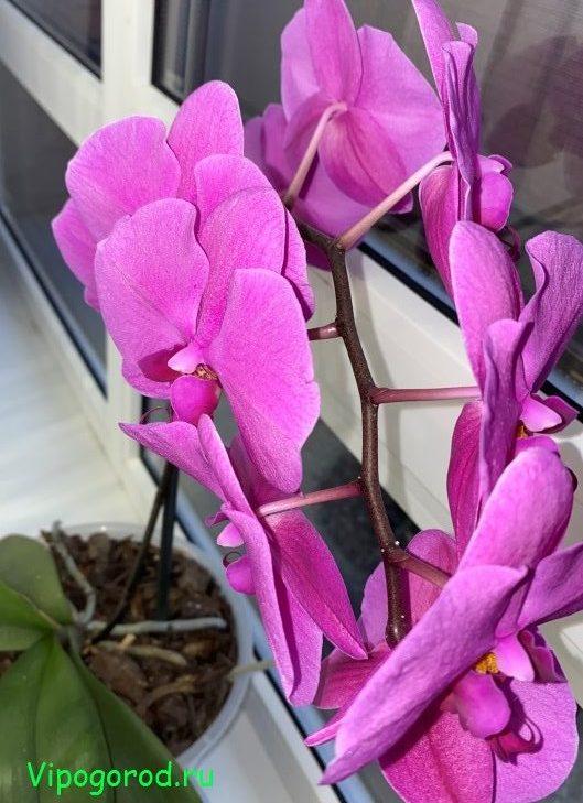 Как поливать орхидею Фаленопсис