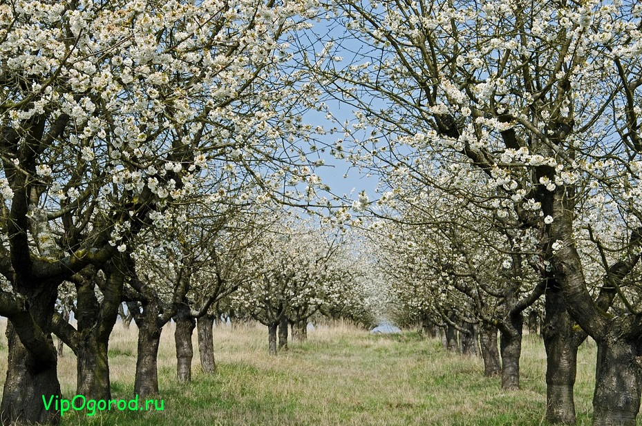 Когда сажать плодовые деревья?