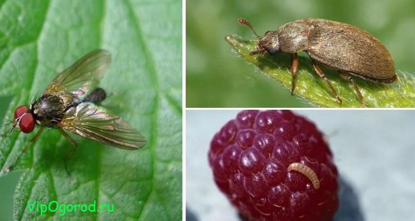 Малиновая муха и жук