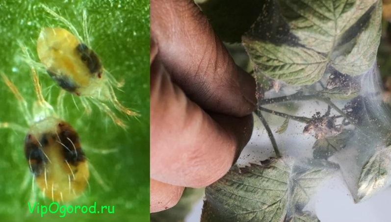 Паутинный клещ на малине