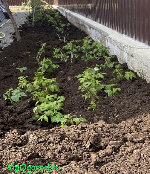 Посадка малины весной и осенью саженцами в открытый грунт подготовка, этапы, способы