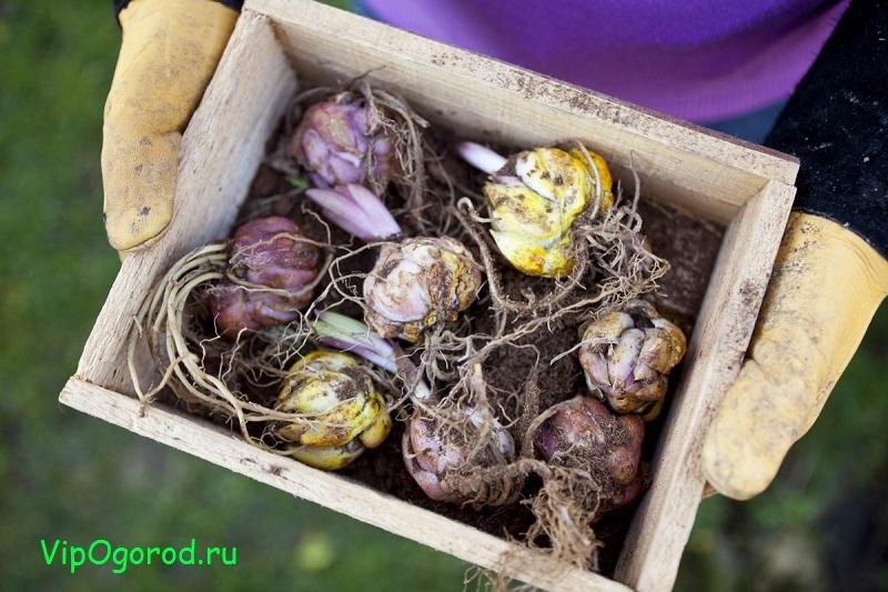 Посадка лилий в открытый грунт весной. Сроки посадки, особенности и уход за лилиями