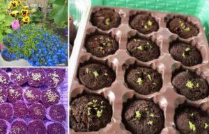 агератум выращивание из семян на рассаду