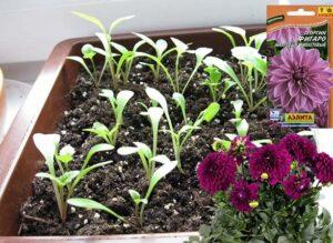 посадить георгин однолетний на рассаду в апреле