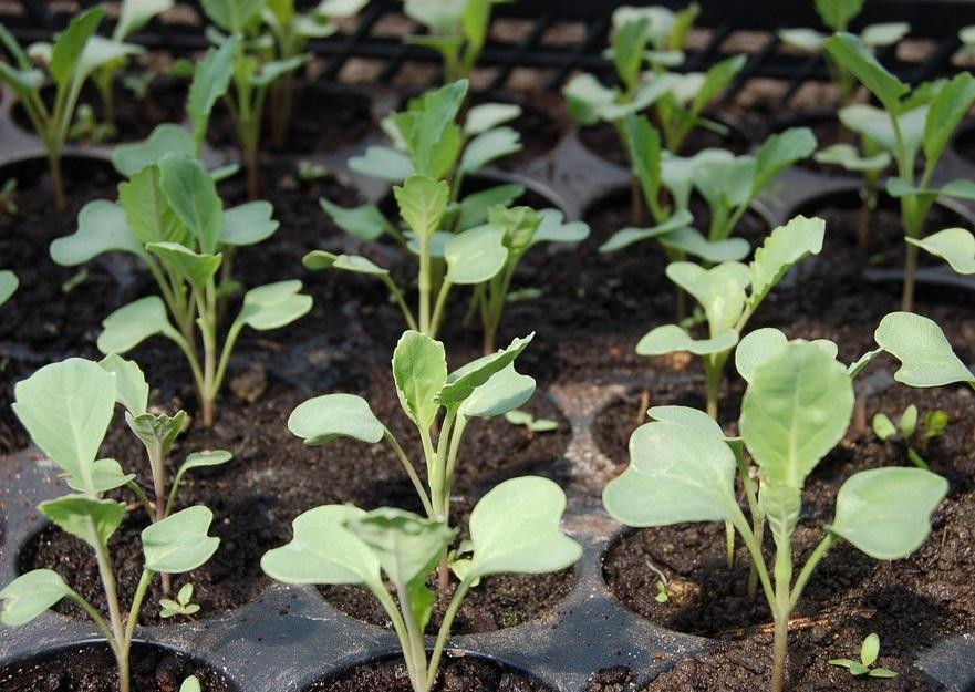 посеять капусту на рассаду в апреле