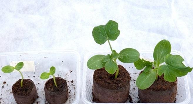 посадить дыню и арбуз на рассаду