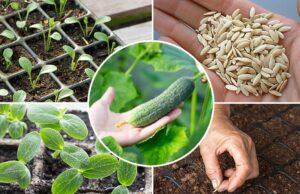 посадить огурцов на рассаду в апреле