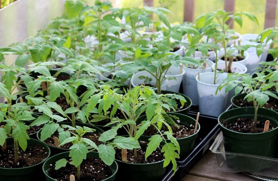 посадить помидоры на рассаду
