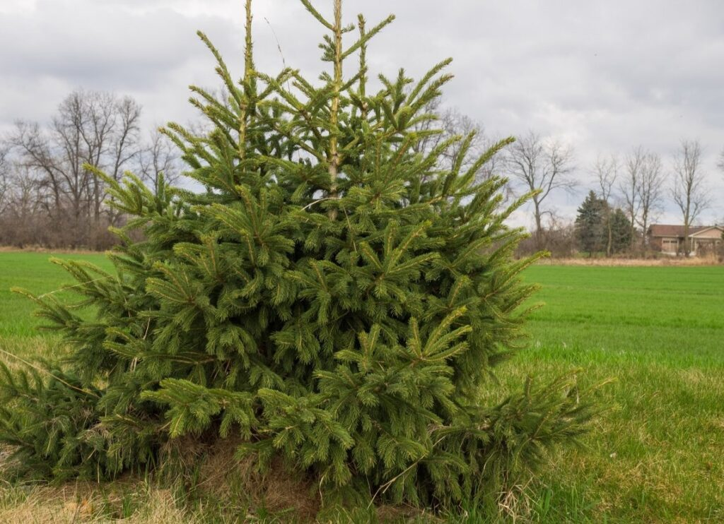елка на участке