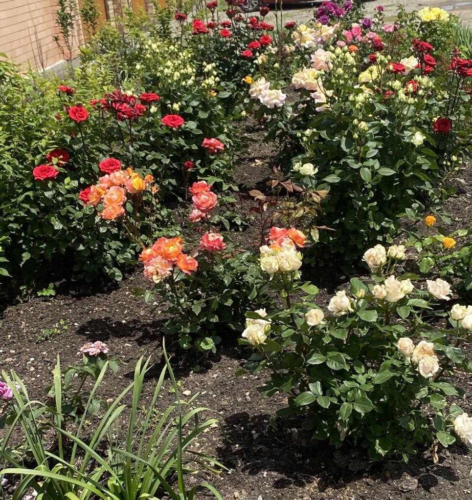 где правильно посадить розы на участке как выбрать место