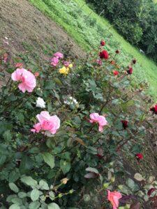как правильно посадить розы осенью