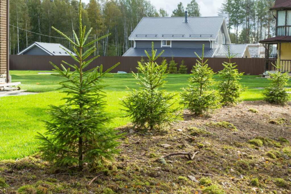 молодые елки на участке