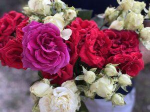 посадка роз дома с чубуков