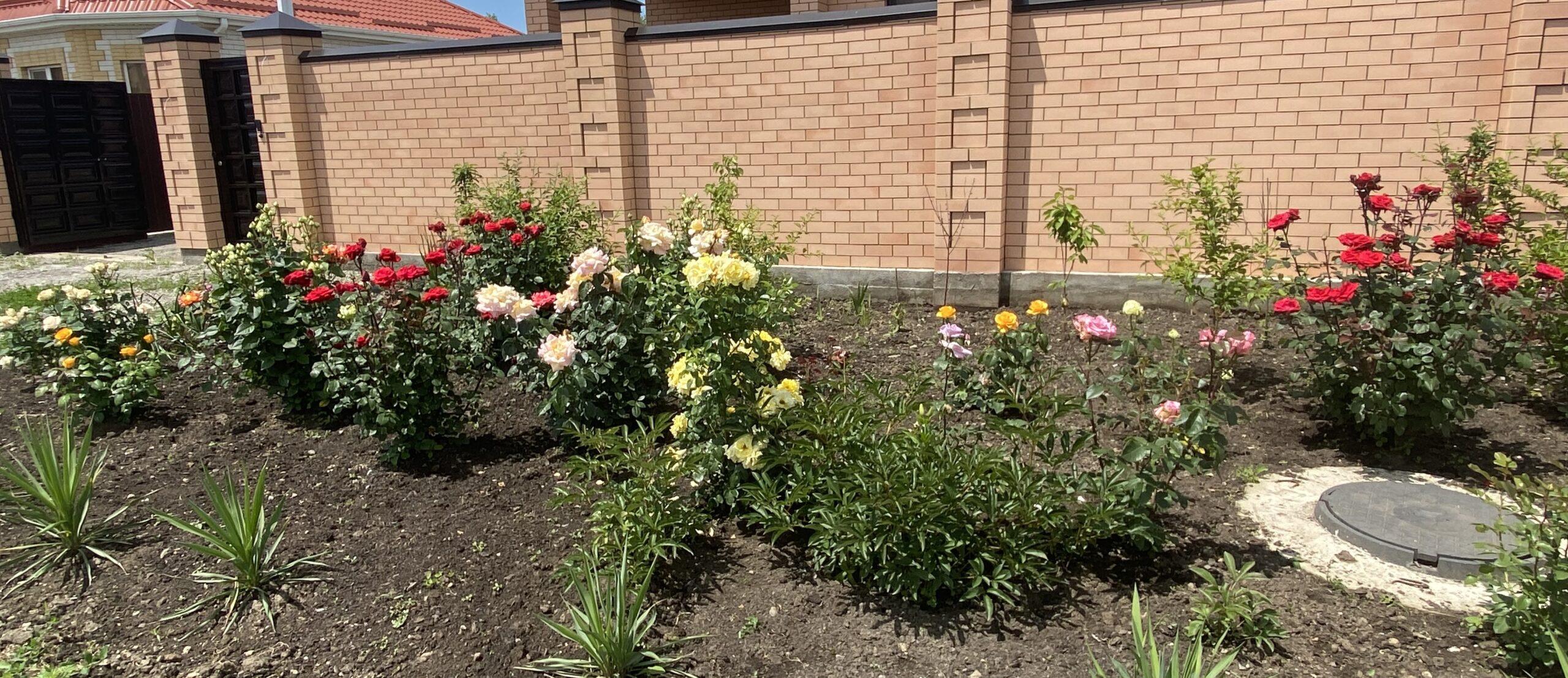 посадка роз в открытый грунт осенью