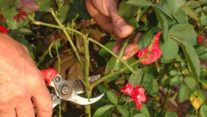 как правильно обрезать розу осенью