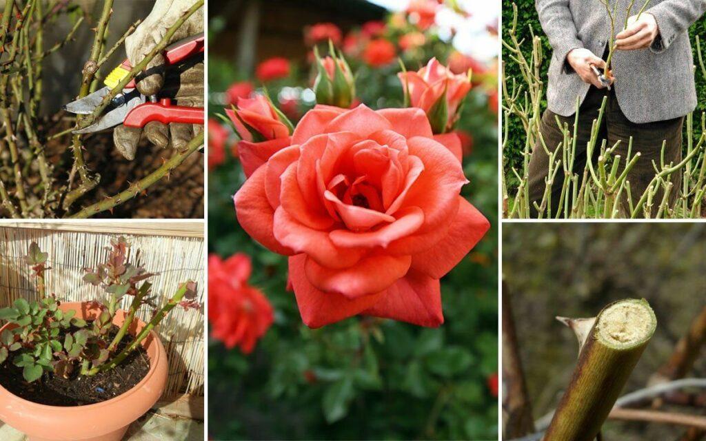 как ухаживать за розами осенью