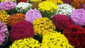 многолетние цветы простые в уходе