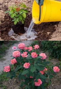 удобрение для полива роз