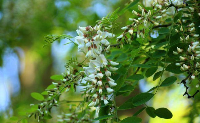 Белая акация: уход и посадка, особенности выращивания и лечебные свойства