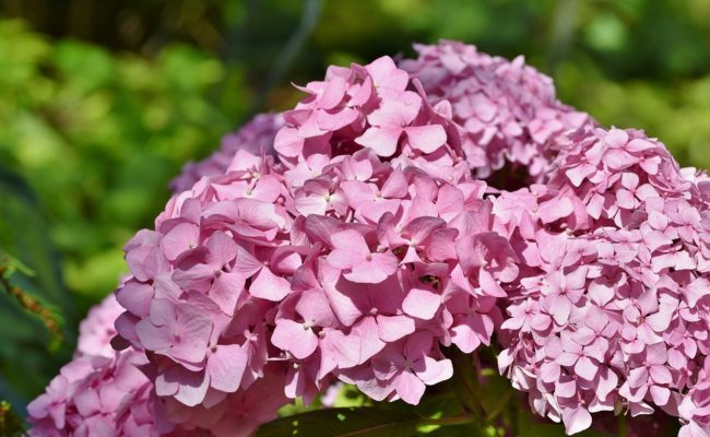 Гортензия — удивительный декоративный цветок