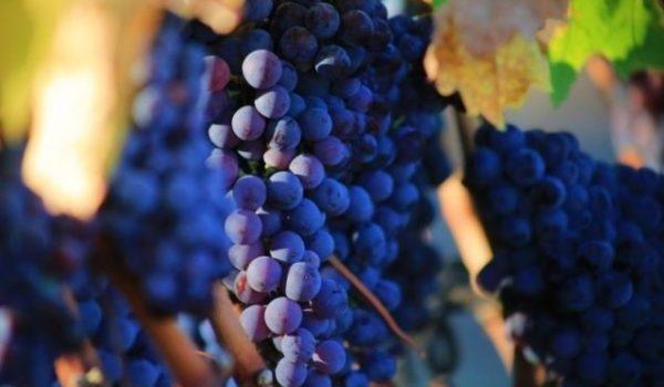 подкормка винограда перед обрезкой