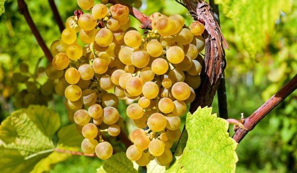 виноград летом
