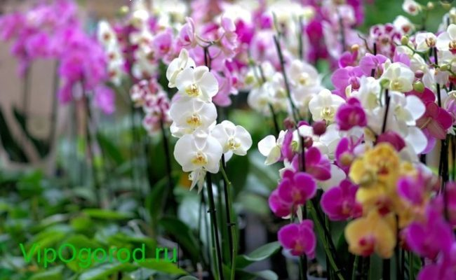 Орхидея: как правильно выбрать