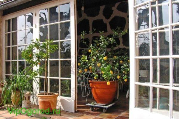 Как вырастить лимонные деревья дома и начать зарабатывать на этом