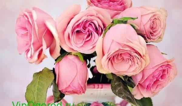 как вырастить розу дома