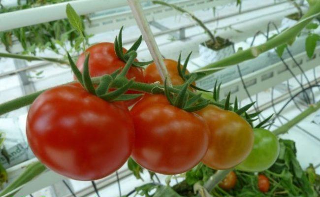 Обработка томатов от вредителей и болезней