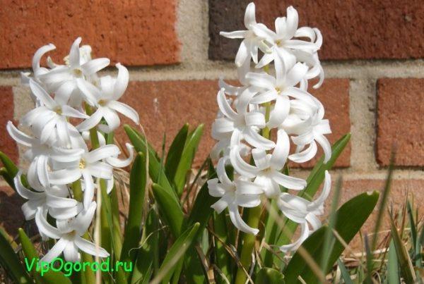 Что делать с цветущими весной луковичными растениями после цветения