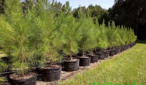 Как посадить сосну Лоблолли