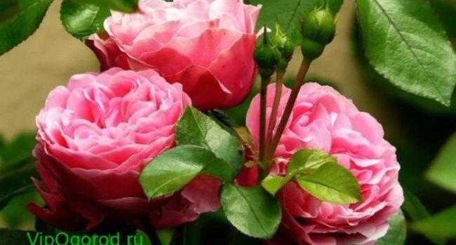 Как привить растения из роз