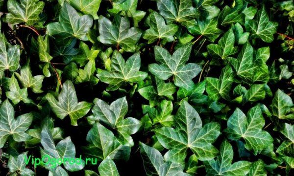 Ядовитые садовые растения - исследуйте ядовитые цветы кустарники и лианы в саду