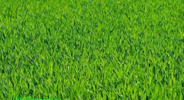 Декоративные травы - нежные воздушные долговечные многолетники