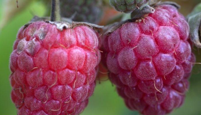 Болезни малины и способы их лечения с описанием и фото