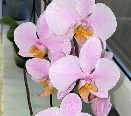 Как поливать орхидею Фаленопсис?
