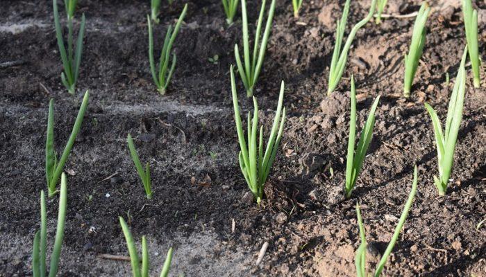 Как вырастить лук – семена или чернушки?