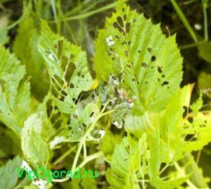 Микоплазмоз у малины