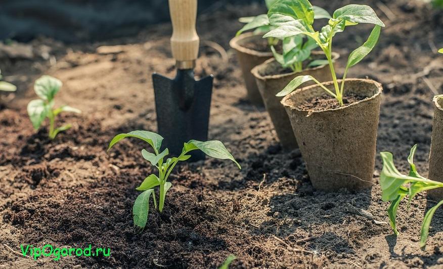 Перец — от рассады до урожая
